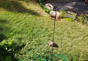a woodchuck underneath a birdfeeder