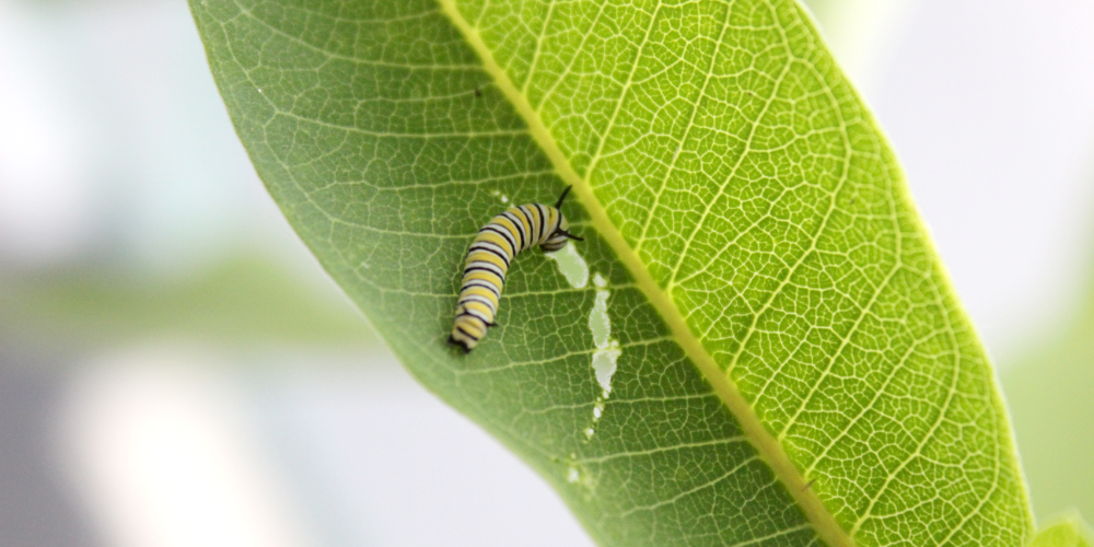 Monarch butterfly caterpillar, 5 days old